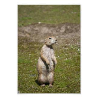 Black-tailed Prairie Dog Photo Print