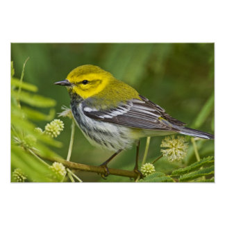 Black-throated Green Warbler Dendroica Poster