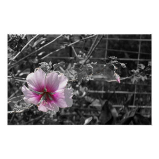 Black, White and Pink Hibiscus Poster