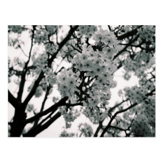 Black White Blooms Post Cards