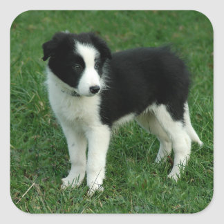 Black & White Border Collie Puppy Dog Stickers