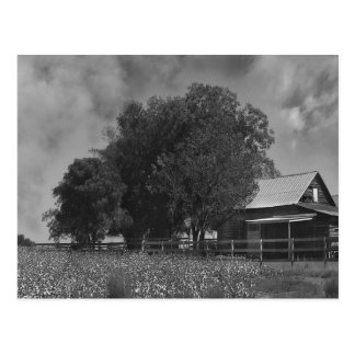 Black & White Cotton Field Postcard