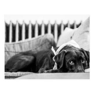 Black & White Dog Relaxing Sleepy Chocolate Lab Postcard