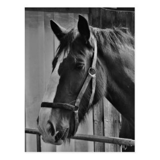Black White Horse - Animal Photography Art Postcard