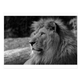 Black & White Lion - Wild Animal Postcard