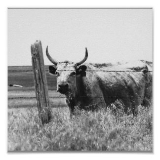 Black & White Photo Cow Poster