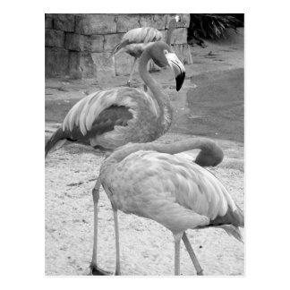 Black & White Photo Flamingos Postcard