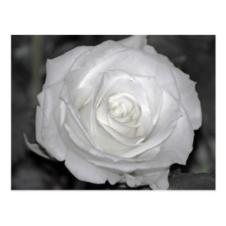 Black & White Rose Postcard