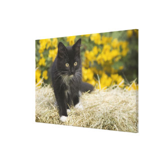 Black & white short-haired kitten on hay bale, 2 stretched canvas print