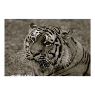 Black & White Tiger Poster