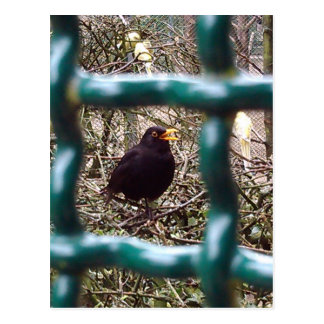 Blackbird behind bars, Animal, Birds, Black Bird Postcard