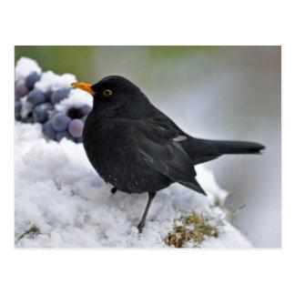Blackbird in snow postcard