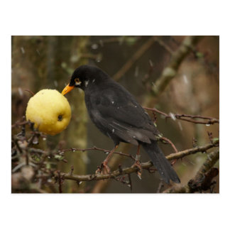 Blackbird with apple Poscard Postcard