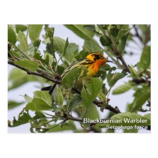 Blackburnian Warbler Postcard