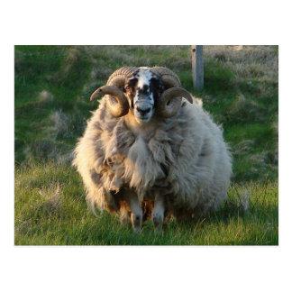 Blackface Sheep, Isle of Lewis, Outer Hebrides, Sc Postcard