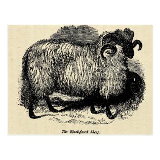 Blackface Sheep Post Card