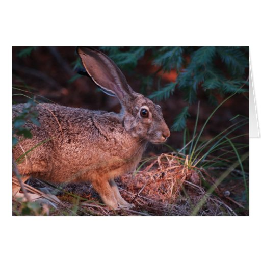 Blacktailed Jackrabbit Card