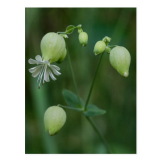 Bladder Campion Pretty White Wildflower Postcard