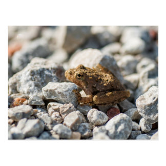 Blanchard's Cricket Frog Postcard