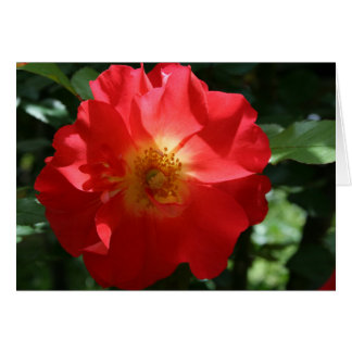 Blank Note Card: Majestic Rose Note Card