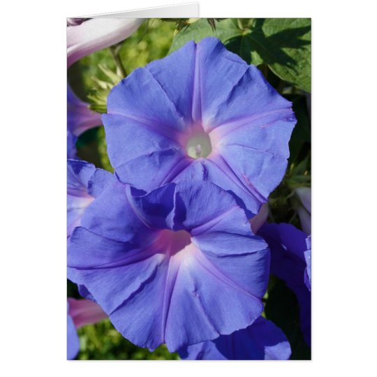 Blank Note Card, Morning Glory Card