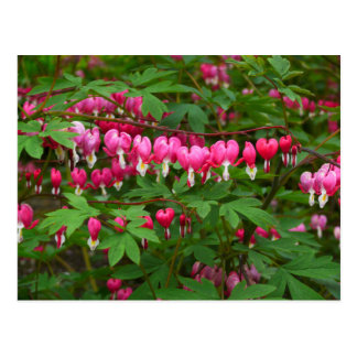 Bleeding Hearts Nature, Photo Postcard