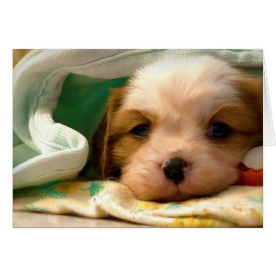 Blenheim puppy under blanket card