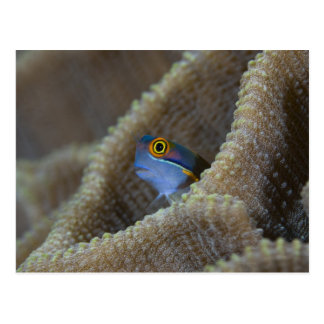 Blenny fish Blenniidae) poking it's head out Postcard