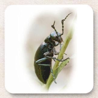 Blister Beetle - Meloidae Coaster