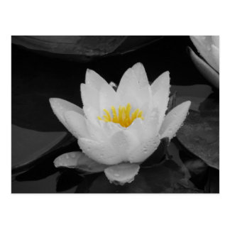 Blk&Wht Water lily Postcard