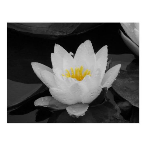 Blk&Wht Water lily Post Cards