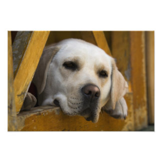 Blond Labrador retriever, Patagonia, Chile Photo Print