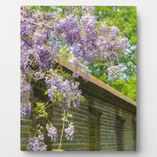 Blooming blue wisteria hanging over long brick wal display plaques
