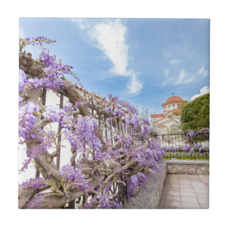 Blooming blue Wisteria sinensis on fence in Greece Tile