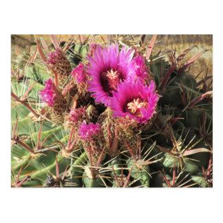Blooming Devil's Tongue Barrel Cactus Postcard
