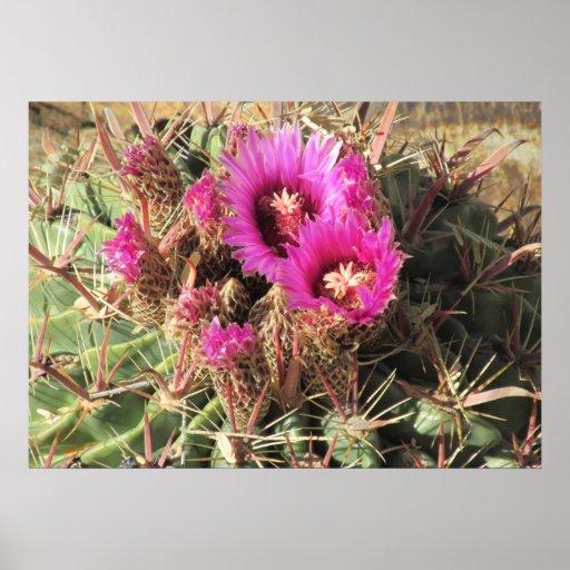 Blooming Devil's Tongue Barrel Cactus Poster