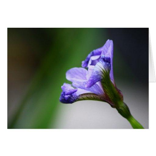 Blooming Iris Greeting Cards