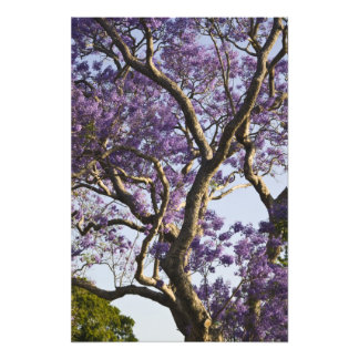 Blooming Jacaranda Trees in New Farm Park, Photo Art