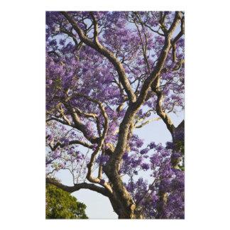 Blooming Jacaranda Trees in New Farm Park, Photograph