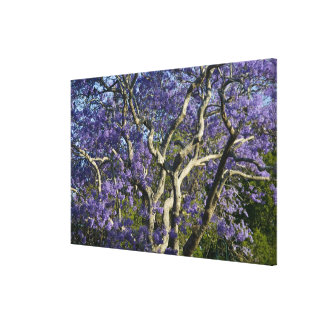 Blooming Jacaranda Trees in New Farm Park, Stretched Canvas Print