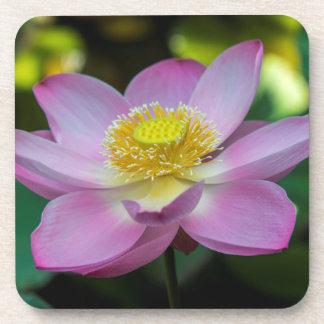 Blooming lotus flower, Indonesia Coaster