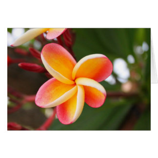 Blooming Red and Yellow Plumeria Flower Card