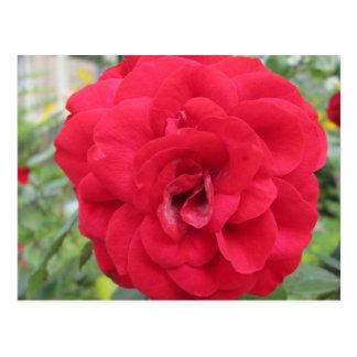 Blooming Red Rose Flower Postcard