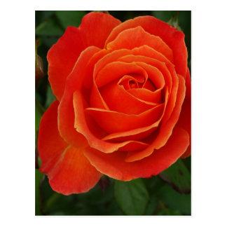 Blooming Rose Orange Red Postcard