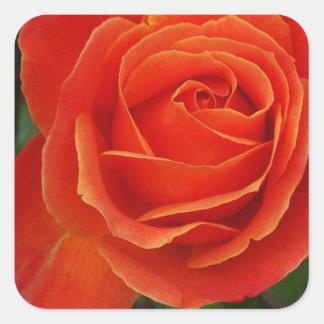 Blooming Rose Orange Red Square Sticker