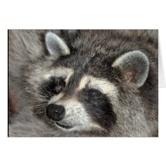 Blossom, Raccoon Matriarch at WBY. Card