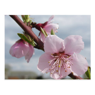 Blossoming peach tree against the cloudy sky postcard