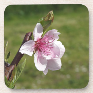Blossoming peach tree against the green garden coaster