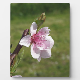 Blossoming peach tree against the green garden plaque