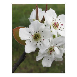 Blossoming pear tree against the green garden postcard